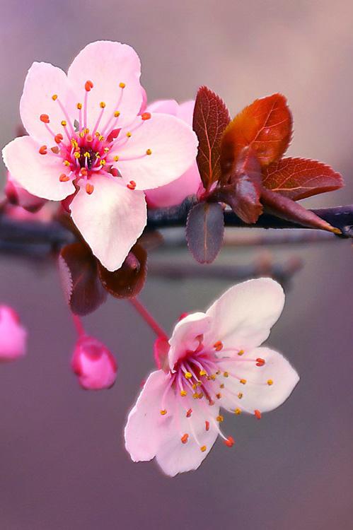 Cherry-Blossom-Skoboden-1